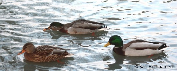 Wetland ecology group_University of Helsinki_duck_mallard_intersexual_male_female